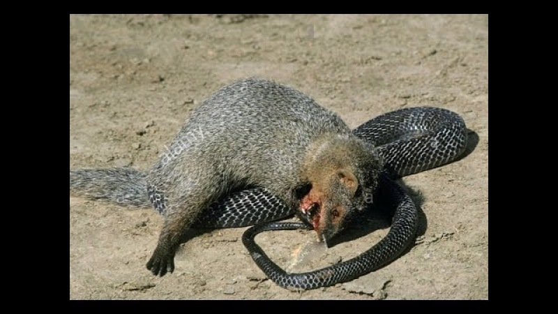 Snake vs Mongoose ⇉ Fox vs King cobra vs honey badger vs Squirrel⇉ Animals attack compilation