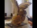 A nő meg akarja fürdetni a baglyot egy vízpermettel a madár reakciója imádni való