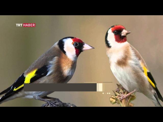 TRT Haber - Küçük Şeylerin Hikayesi Kuş Dili