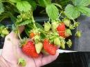 Выращивание земляники в пенопластовых ящиках в теплице.Косяки опыта