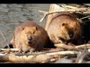 Охота на норе бобра c проходными капканами 2 Будни охотника и рыбака