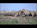 Леопард присоединяется к кормящимся нильским крокодилам