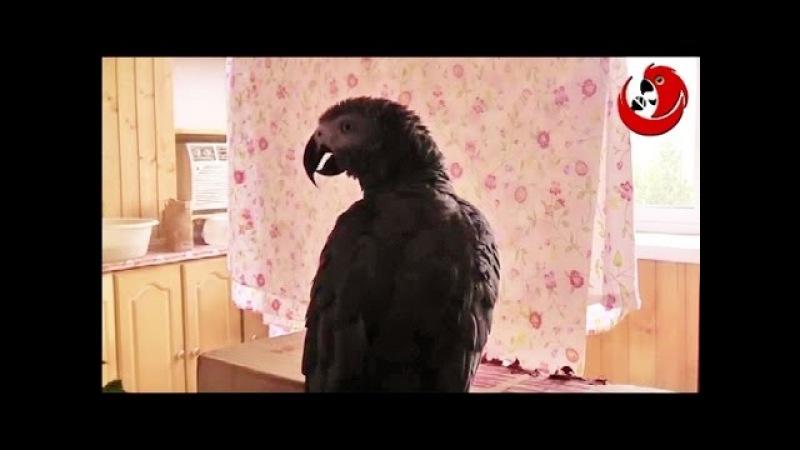 Gadająca papuga Grigorij - Śpiewa Katjuszę na zmianę z opiekunem! (Grigorij the Talking Parrot)