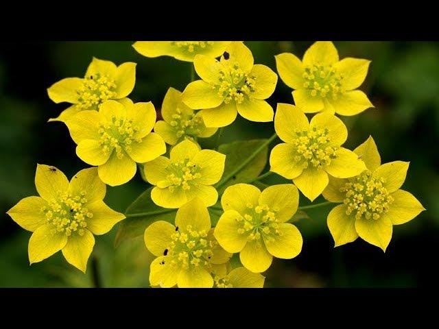 Трава Володушка золотистая, лечебные свойства, состав растения, описание.