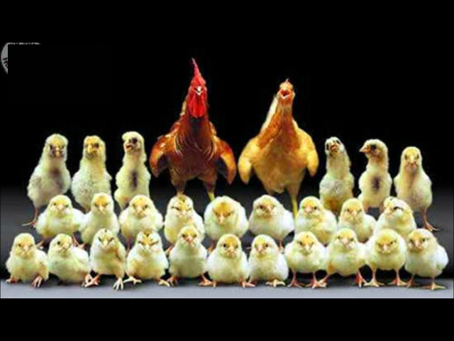 MAMAN POULE 2. Baby Chicks and Mother Hen. Poussins, conseilles.