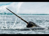 Monodontidae Beluga whale, Narwhal Нарваловые Белуха, Нарвал