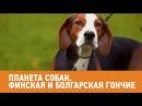 Финская и болгарская гончие. Планета собак 🌏 Моя Планета