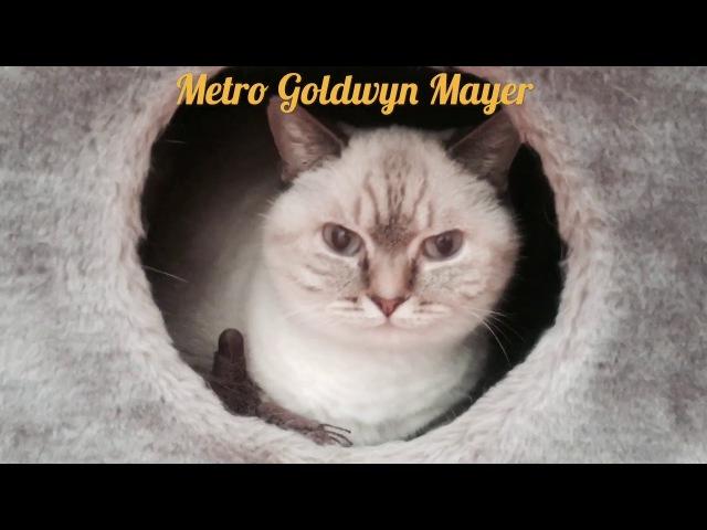 Кинопробы на роль льва в Metro Goldwyn Mayer
