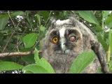Милые совята - Ушастая сова от яйца до взрослой птицы