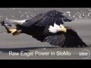 Орланы отбирают друг у друга добычу
