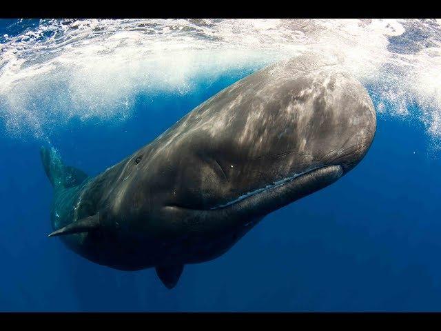 Глубины океана. Морские гиганты Азорских островов. Документальный фильм.