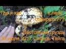 Поход в лес грибы настоящий груздь лисички ищем по запаху 30 июля 2017 гриб настоящ