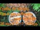 Поход в лес грибы рыжики ищем по запаху 26 июля 2017 гриб рыжик легко найти сибирь т