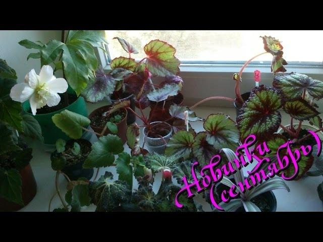 Комнатные растения (мои новинки сентябрь 2014 )