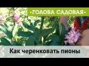 Голова садовая Как черенковать пионы