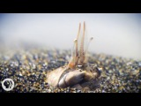 For Pacific Mole Crabs It's Dig or Die Deep Look
