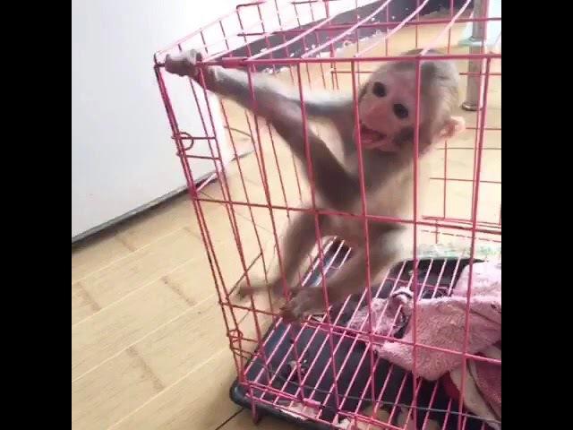 Seeking the last favorite pet pocket-sized stone monkey want to buy, want.