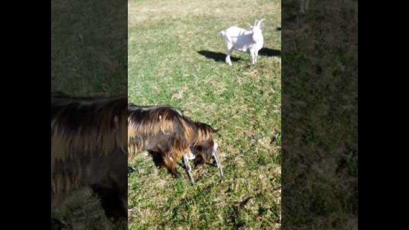 козы на прогулке 2