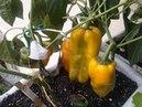 Como plantar pimentão e colher da semente ate fruto