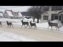 канадские олени передвигаются в городе по ПДД