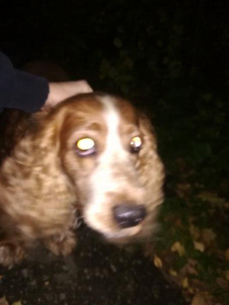 Очередной пёс ищет хозяина... Кобель, кокер-спаниель Бегает в районе к