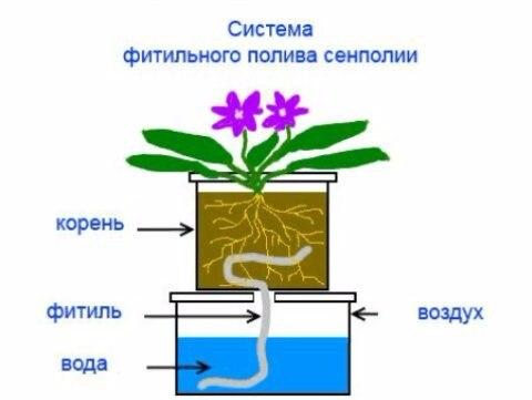 узамбарская фиалка или сенполия - Страница 2 HzbsG3XXc0E