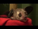 Мадагаскарская руконожка 02