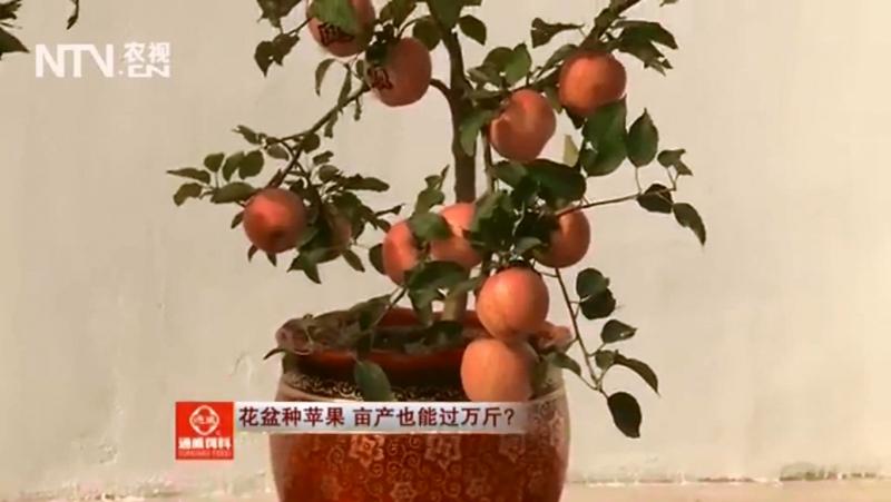 Яблоня карликовая ''Пин Го'' (лат. Malus pumila). Горшечная Яблоня ''ПэньЦзай ПинГо''. Выращивание Яблонь в горшках ''ПэньЦзай П