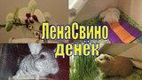 ЛенаСвино денекУпрямый ПыжикВпервые пересаживаю орхидеюШиншилла купаетсяУборка у шиншиллы Шуши