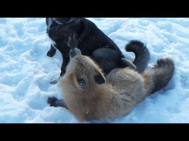 Fox and Dog wrestling