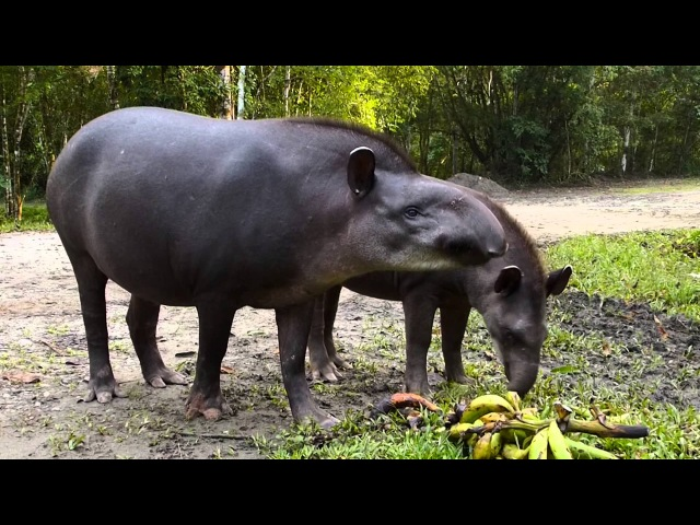 Равнинный тапир Lowland tapir Tapirus terrestris