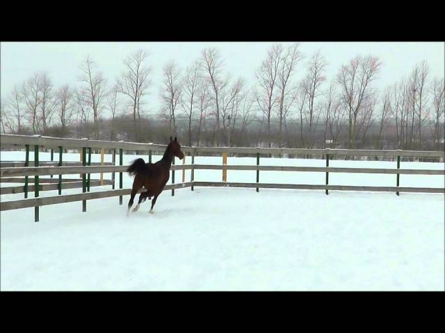 Akhal-teke stallion Khamza/Ахалтекинский жеребец Хамза