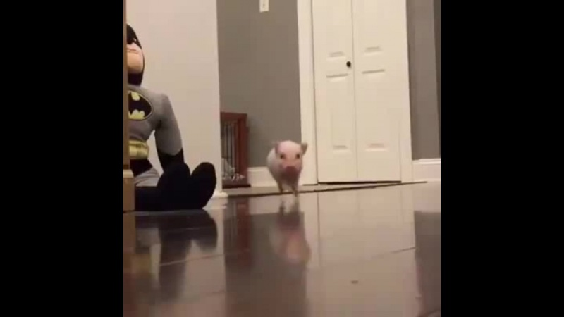 Cant stop watching this! Listen to his feet go 😂😂🐷