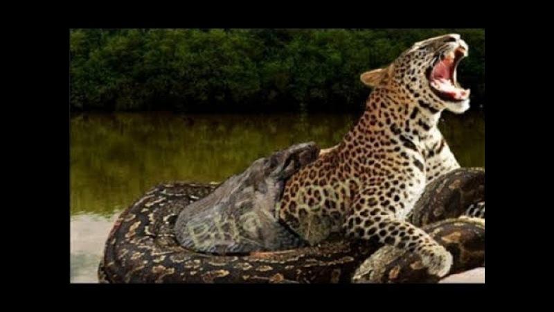 Grandes Felinos vs Serpentes Gigantes