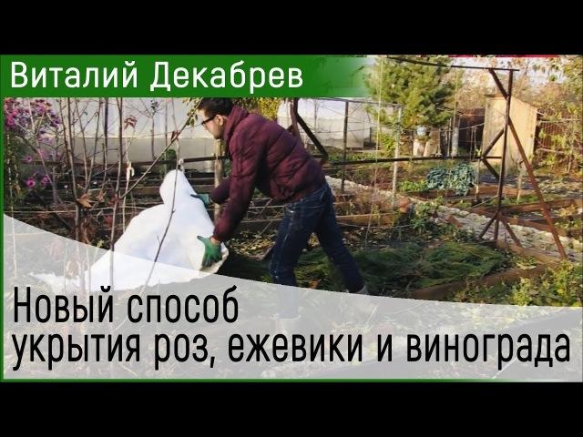 Новый способ укрытия роз ежевики и винограда Виталий Декабрев