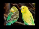 3 5 Hr Cute Budgies Chirping Parakeets Sound Reduce Stress Healing ADHD Anxiety Heart Disease