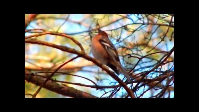 ЗЯБЛИК во всей красе (FRINGILLA COELEBS - closeup video)