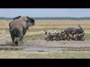 Cả đàn voi đại chiến với đàn chó hoang để giải cứu linh dương | Động vật cứu động vật