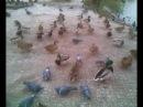 Кормление уток и голубей на пруду