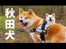 AKITA INU - 3 YEARS OF LOYALTY | SPECIAL BIRTHDAY EPISODE (秋田犬)