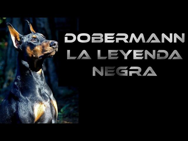 Doberman, su carácter, sus leyendas y consejos