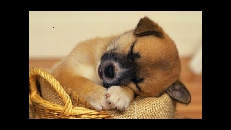 SLEEP MUSIC For Dogs, Cats All PETS ♥♥♥ Stress Relief, Anxiety, Healing Music 🎧 PET THERAPY