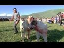 MY CITY-собачьи бои Армения город Апаран 1