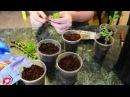 Как черенковать хризантемы