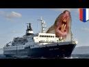 Корабль призрак везёт на Британские острова крыс каннибалов