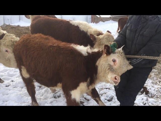Перевод бычка в бычатник