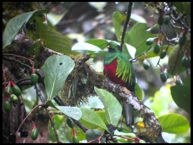 Crested Quetzal / Хохлатый квезаль / Pharomachrus antisianus