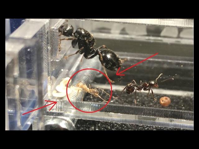 Новорожденный муравей жнец (Messor Structor)