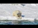 Klimawandel- Eisbären hungern- Forscher sind alarmiert
