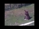 Мама медведица спасает медвежонка